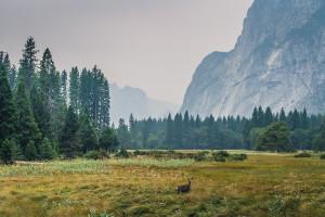 Deer in Yosemite National Park California